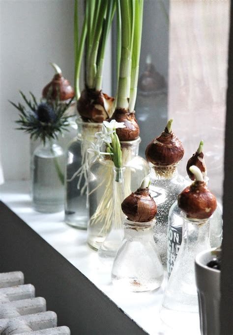 diy bottle fed paperwhites gardenista