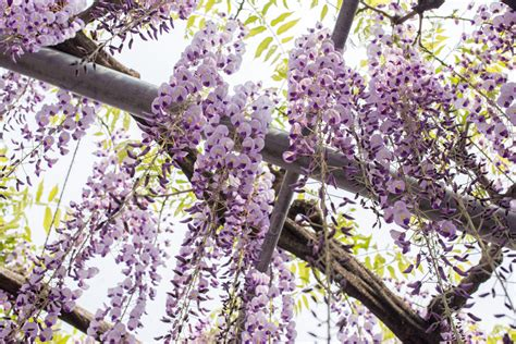 Wisteria At Ashikaga Flower Park Tiptoeingworld | wisteria at ashikaga flower park tiptoeingworld