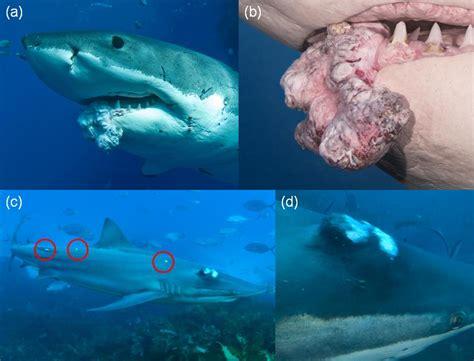 imagenes impresionantes de tiburones olv 237 dese del mito los tiburones si padecen c 225 ncer
