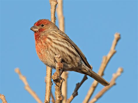 picture of house finch house finch wikipedia