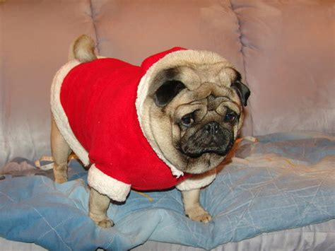 pug in santa costume how to sew a santa costume for a gifts for pug