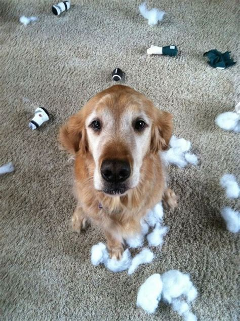 buzzed golden retriever 12 reasons why you should never plan a golden retriever