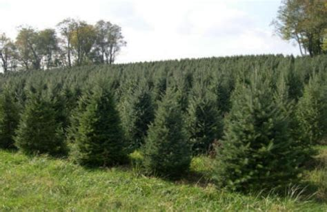 pictures on christmas tree farms albany ny cheap