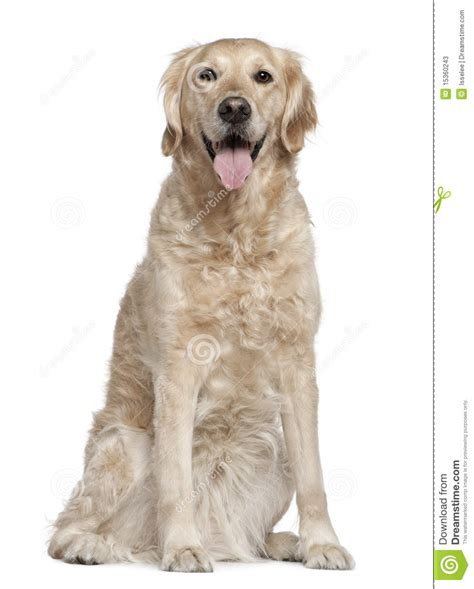 golden retriever 4 years golden retriever 7 years sitting stock photos image 15360243