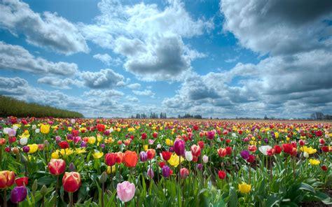 flowers sky nature light plant bloom hd wallpapers wallpaper field sky flower tulips desktop wallpaper