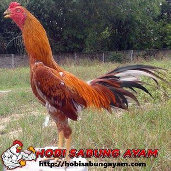 cara membuat anak ayam cepat besar tips cepat membuat badan ayam merah hobi sabung ayam