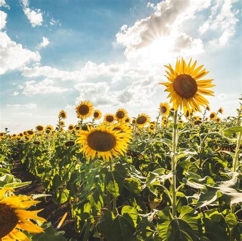 sunflower fields   top sunflower fields