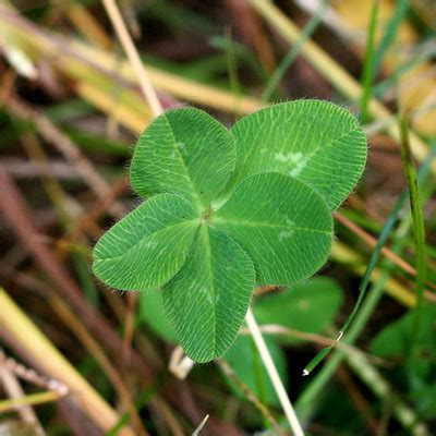 how many leaflets does a clover have on a single leaf globalquiz org