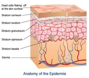 what is the epidermis