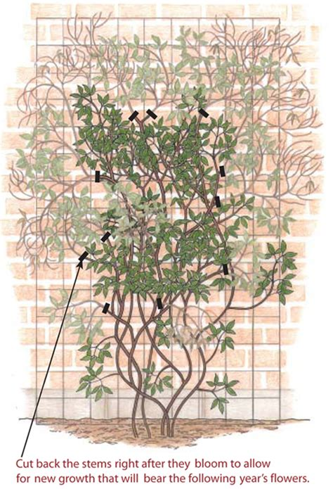 pruning clematis finegardening