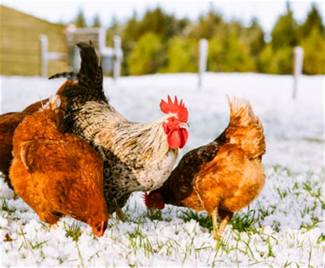 heat l for chickens in winter 6 ways to get your chicken coop ready for winter ready