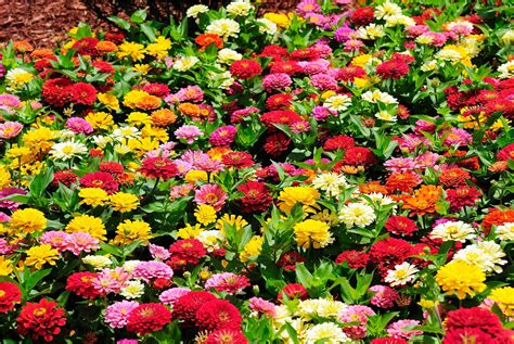 zinnias flower garden 25 types of flowers to plant for summer summer flowers
