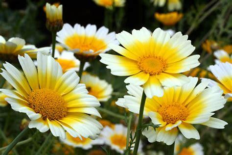Daisy   plant   Britannica.com