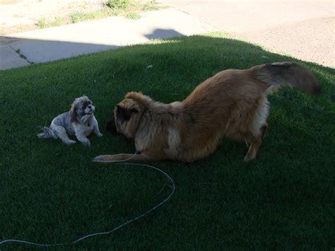 leonberger puppies mn leonberger