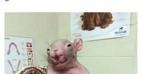 Naked Mole Rat Meme - normal people when they see this me when i see this