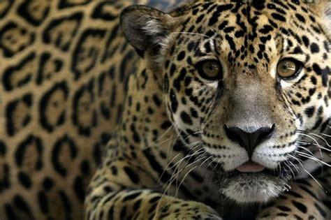 is jaguar endangered endangered jaguar flickr photo