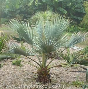 Topiary Uk - brahea armata mexican blue palm from palm centre