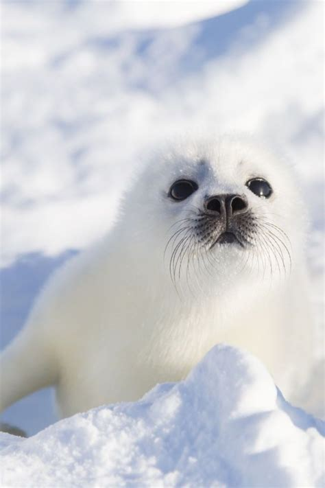 baby seal pup best 25 baby seal ideas on