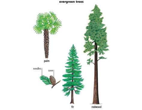 define tree evergreen noun definition pictures pronunciation and