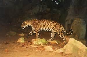 Creek Jaguar Jaguars Runaway Creek Belize Rainforest Preserve