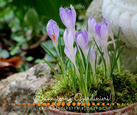 fiori aprile fiori di aprile crocus vernus quot vangard quot un giardino in