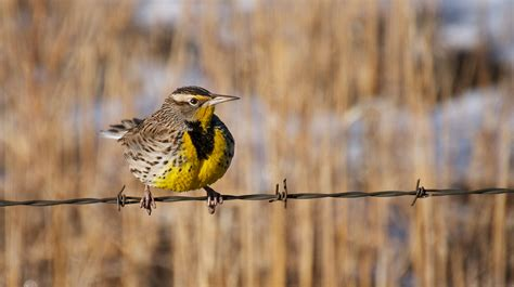 nw bird blog western meadowlark