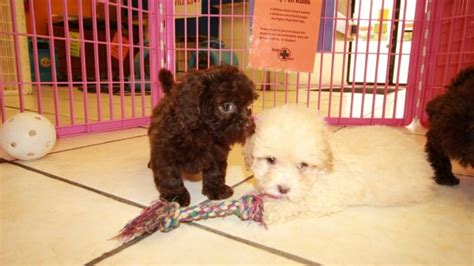 shih poo puppies for sale local puppy breeders affectionate shih poo puppies for sale in atlanta georgia