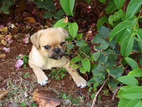 japanese pug japug photo gallery breeds picture