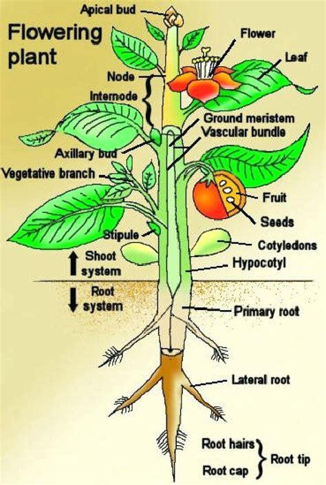 plant diagram diagram cotton plant anatomy diagram