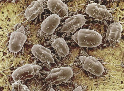 bed mites pictures dust mites