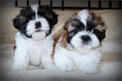shih tzu puppies ta shih tzu sale ireland shih tzu puppies buy buy shih tzu breeders shih tzu dogs