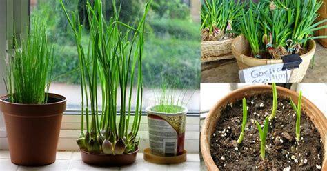 grow garlic indoors growing garlic  pots