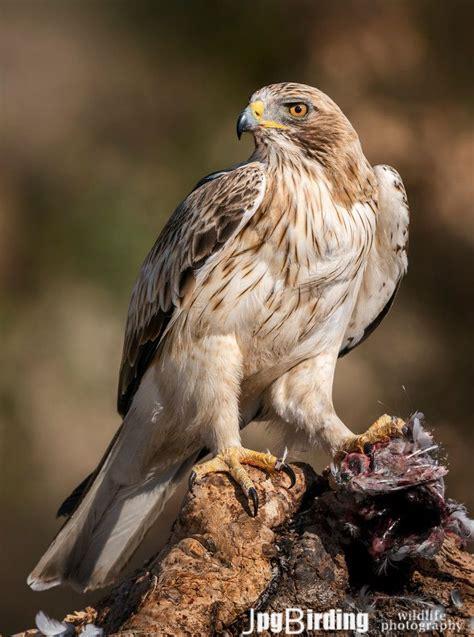 pin by kit white on birds birds of prey