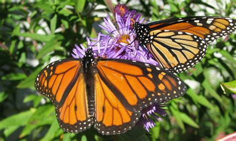 monarch butterfly habitat exchange environmental incentives