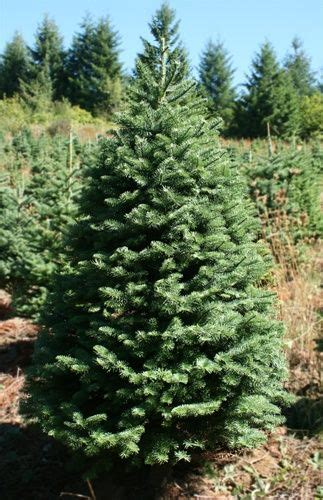 noble fir transplants 7 best noble fir tree images on trees firs and trees