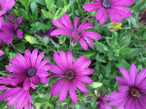 Winterharte Stauden Lila by Osteospermum Tresco Purple Hardy Perennial Plant Pink