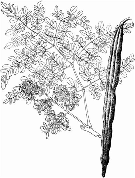 14 Moringa | Lost Crops of Africa: Volume II: Vegetables