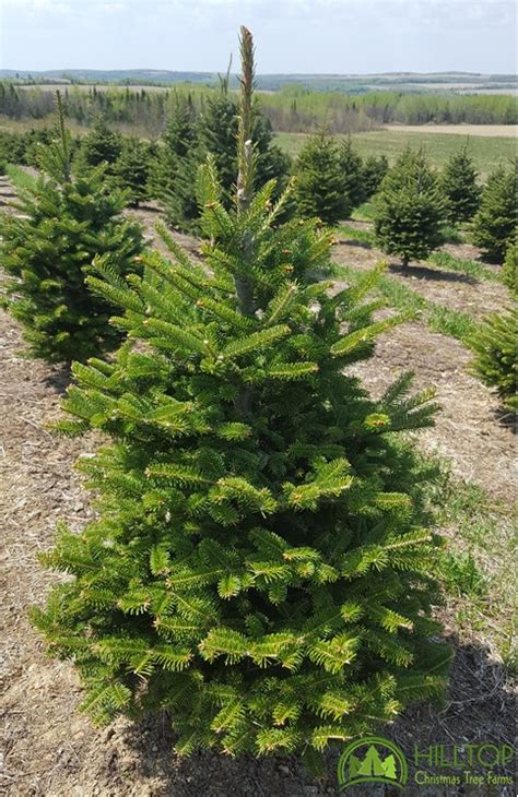 25 discount on all products at hilltop christmas tree