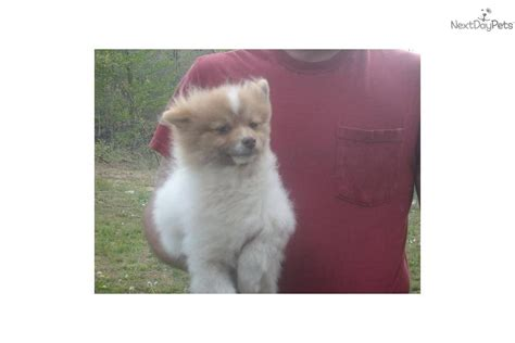 teacup pomeranian puppies for sale in nashville tn pomeranian for sale for 300 near nashville tennessee 769fc45e 3381