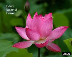National Flower Lotus Lotus Flower India S National Flower This Grows In The