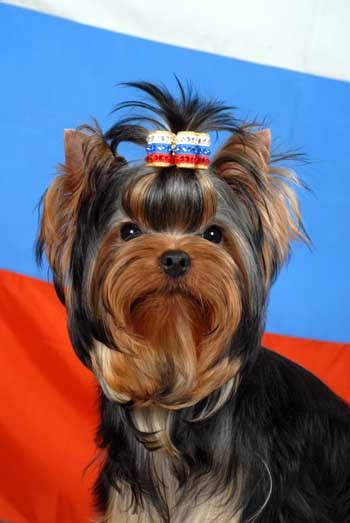 yorkie puppy shoo welcome to quot mini shop quot terrier kennel