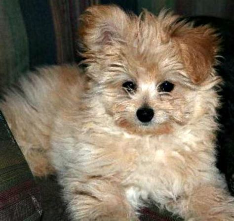 shih poo pomeranian mix pomeranian maltese poodle mix www pixshark images galleries with a bite