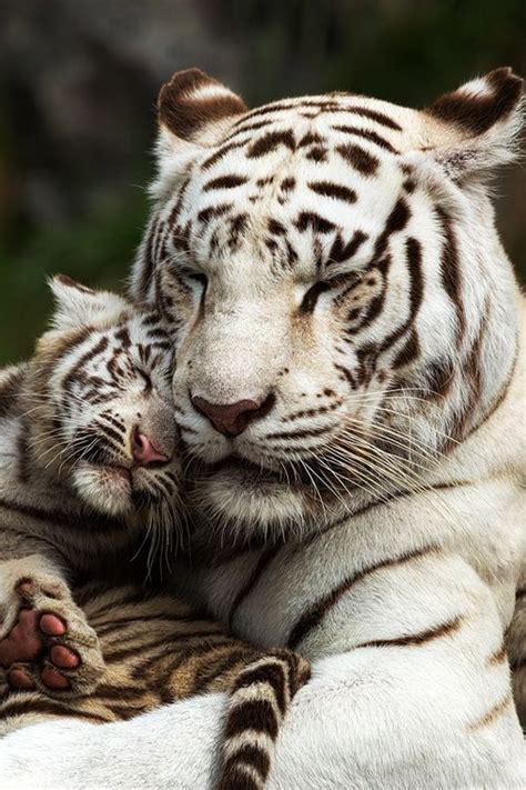 cuddle  white tiger mother  cub  manuel guttmann animal magnetism pinterest