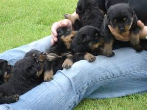 File rottweiler puppies at 3 weeks old jpg wikimedia commons