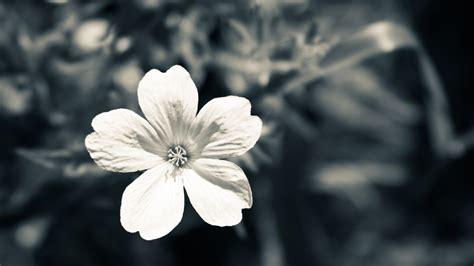 desktop wallpaper black and white flowers black and white flower photography wallpapers 468469 on