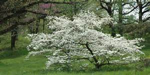 Flowering Dogwood Tree - picture flowering dogwood tree submited images
