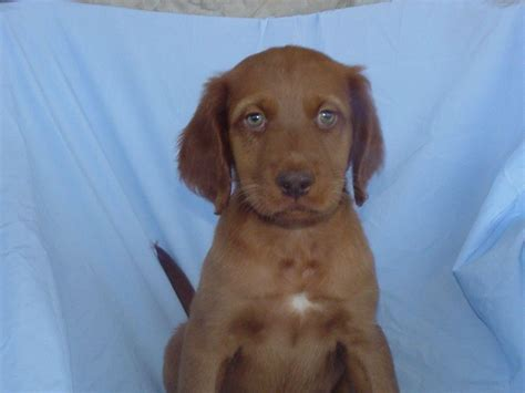 american setter dog irish setter for sale by s bubb american kennel club