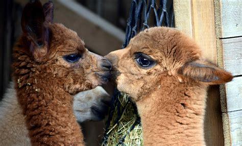 picture cute animal fur portrait llama