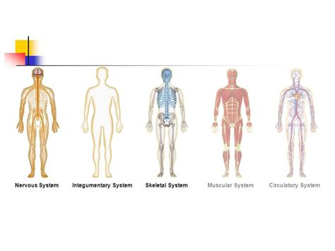 Section 35 1 Human Systems by Human Systems Ppt