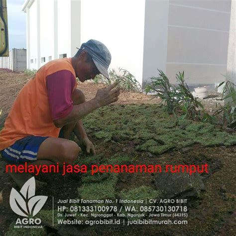 Bibit Biji Rumput Gajah Mini jual bibit rumput gajah mini agro bibit id